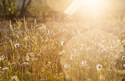 Summer meadow full with daisies after rain Royalty Free Stock Images