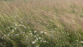 Summer meadow grass and flowers in wind stock footage