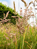 Summer Meadow Grasses. Close up of a variety summer meadow grasses found in the fields Stock Images