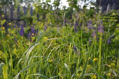 Summer meadow with green grass and blurred blooming lupins. On the background stock images