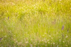 Summer meadow, green grass field and wildflowers in warm sunlight, nature background concept, soft focus, warm pastel tones.  royalty free stock photo