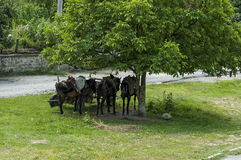 Summer meadow and group pack horses relaxation under big walnut tree  in Dushantsi village, Central Balkan mountain, Stara Planina. Bulgaria Royalty Free Stock Photos