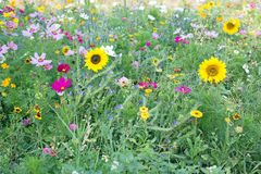 Wild flower meadow royalty free stock images