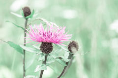 Summer meadow with pink milk thistle wildflower Royalty Free Stock Image