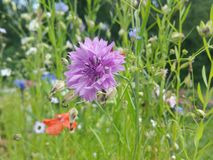 Summer meadow Royalty Free Stock Images