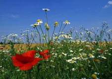 Summer meadow. With poppies and chamomiles stock images