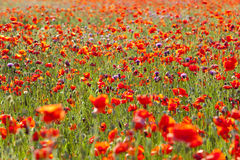 Summer Meadow / Poppy Field Royalty Free Stock Image