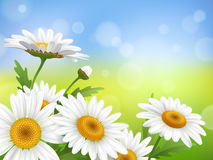 Summer meadow with realistic daisy, camomile flowers on transparent background. Vector illustration Royalty Free Stock Photo