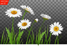 Summer meadow with realistic daisy, camomile flowers on transparent background. Vector illustration Stock Images