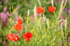 Summer meadow with red poppies Royalty Free Stock Photos