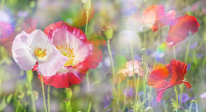 Summer meadow. With red poppies Stock Images