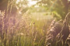 Summer Meadow, Sun, Back Light Stock Image