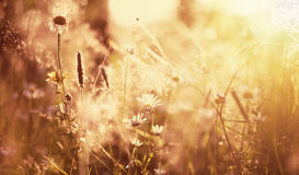 Summer meadow in the sunset Stock Image