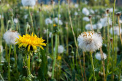 Summer meadow. Two dandelions white and yellow in the foreground. Royalty Free Stock Image