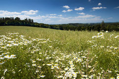 Summer meadow under blue sky. Summer meadow with flowers and blue sky with clouds Stock Photography