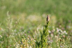 Summer meadow. Whinchat sitting on a bush on a summer meadow Royalty Free Stock Photography