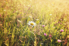 Summer meadow and white dandelion Royalty Free Stock Images