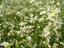 Summer meadow with the white flowers Royalty Free Stock Photography