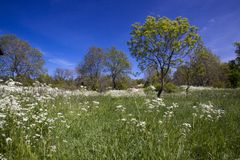 Summer meadow. With white flowers Stock Photos