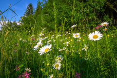 Summer meadow. And  wild flowers Royalty Free Stock Images