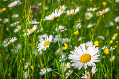 Summer meadow Royalty Free Stock Photo