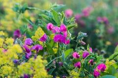 Summer meadow - wildflower Lathyrus tuberosus. Summer meadow - wildflower ( Lathyrus tuberosus) on colorful natural blurred background stock image