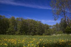 Summer meadow. With yellow dandelions in front Royalty Free Stock Image