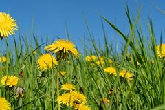 Summer field with yellow dandelions Stock Photos