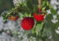 Summer mellow strawberries Stock Photos
