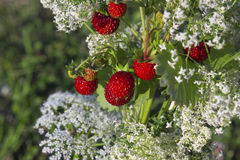 Summer mellow strawberries Stock Images