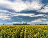 Summer Memory - Giant Sunflower Field royalty free stock photos