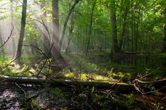 Summer midday with light entering rich deciduous stand Stock Photography