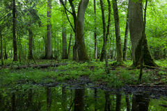 Summer midday in wet deciduous stand Royalty Free Stock Photo