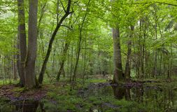 Summer midday in wet stand of Bialowieza Forest Royalty Free Stock Images