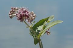 Summer milkweed. Flower and buds against blue sky with light clouds stock photography