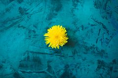 One yellow dandelion flower on trendy grunge emerald-green vivid background. Royalty Free Stock Image