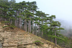 Summer misty pine forest on hill Royalty Free Stock Photo