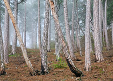 Summer misty pine forest on hill Royalty Free Stock Image