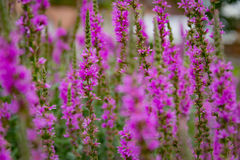 Summer mood: Bright Magenta flowers on a background of green foliage Royalty Free Stock Photo