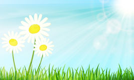 Summer morning. Daisies in the green grass. Vector illustration Stock Photos
