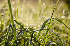 Summer morning dewy grass Royalty Free Stock Photo