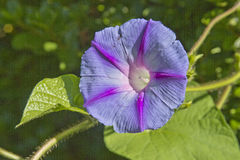 Summer Morning Glory Flower Royalty Free Stock Photography