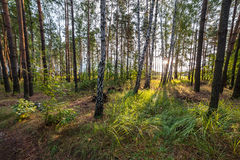 Summer Morning in Green Forest Royalty Free Stock Photos