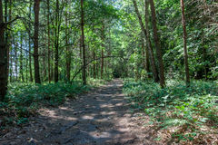 Summer morning in a green forest Royalty Free Stock Image