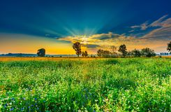 Summer morning landscape on buckwheat field with weeds Royalty Free Stock Image