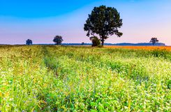Summer morning landscape on buckwheat field with weeds Royalty Free Stock Images