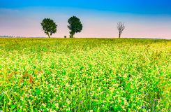 Summer morning landscape on buckwheat field with weeds Stock Image