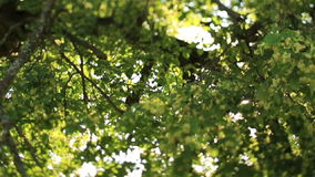 Summer morning lights under green leaves in the forest close up stock footage