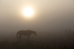 Summer morning mystery. With horse, fog and sunrise Royalty Free Stock Photos