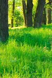 Summer morning in an oak grove. green nature Stock Photography